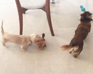 兄弟姉妹犬同士の遊び
