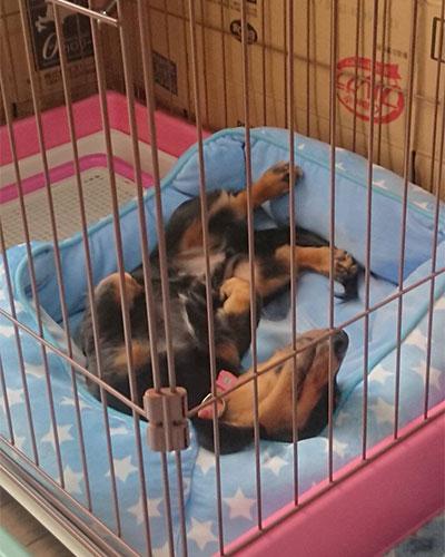 ゲージで安心して寝る子犬